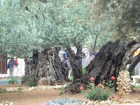 Ancient Olive Trees in the Garden of Gethsemane, Jerusalem, Israel - Photo by Reta Halteman Finger
