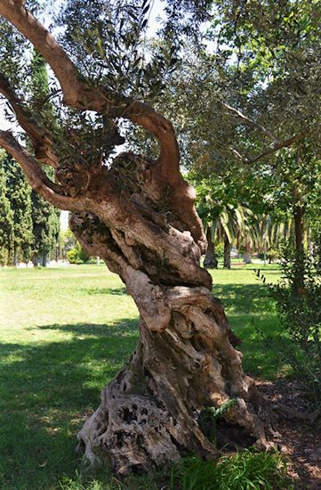 The Trunk of an Olive Tree