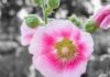 Pink and white Hollyhock flower